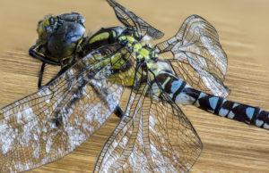 Tote Libelle, aus 22 Einzelfotos zusammengesetztes Bild